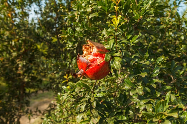 Rijpe rode granaatappel op een boom in de wildernis, turkije