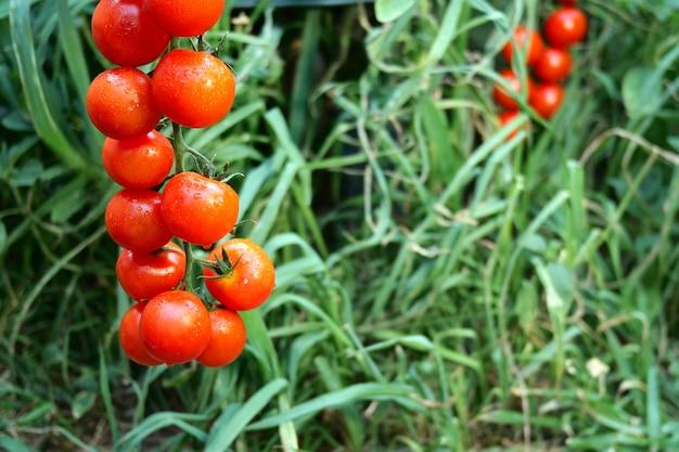 Rijpe rode tomaten die op het groene gebladerte hangen, die op tomatenstruik hangen in de tuin.