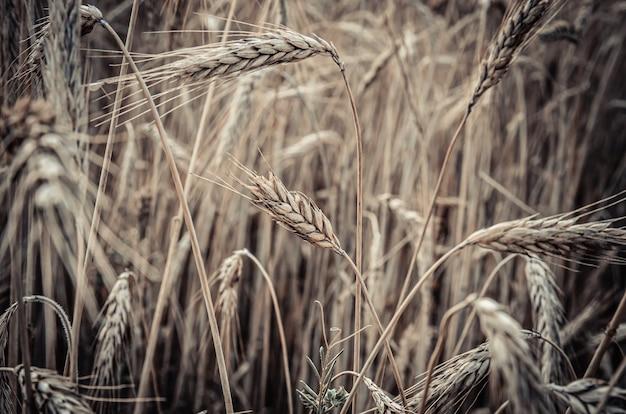 Rijpe rogge oren in het veld