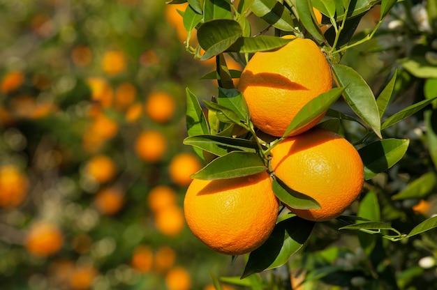 Rijpe sappige sinaasappelen op een takclose-up