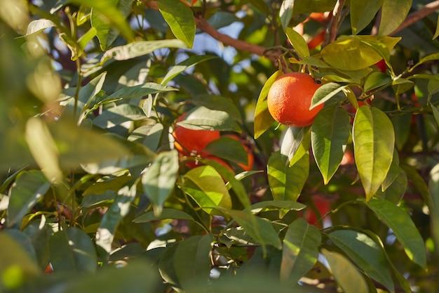 Rijpe sappige sinaasappels groeien buiten aan een boom in de zon