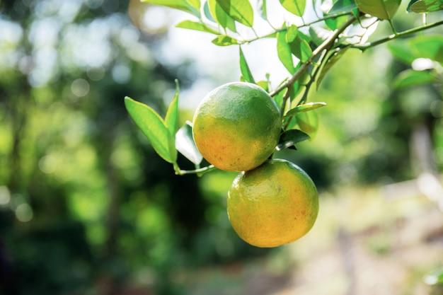 Rijpe sinaasappel op boom met zonlicht.