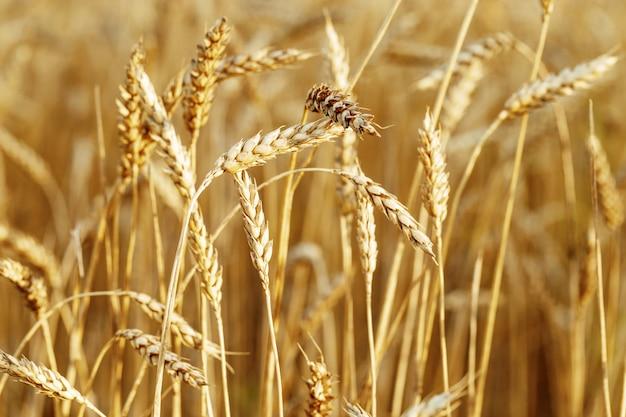 Rijpe tarwe in een landbouwgebied