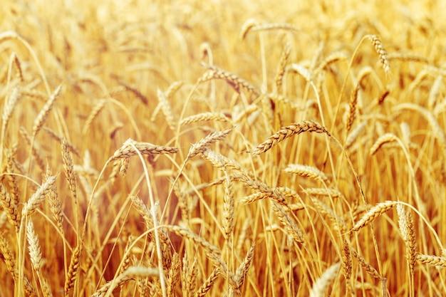 Rijpe tarwe in een landbouwgebied.