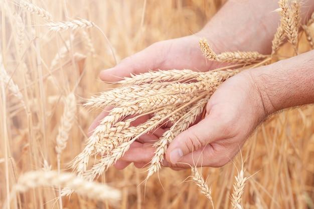 Rijpe tarwe in mensenhanden