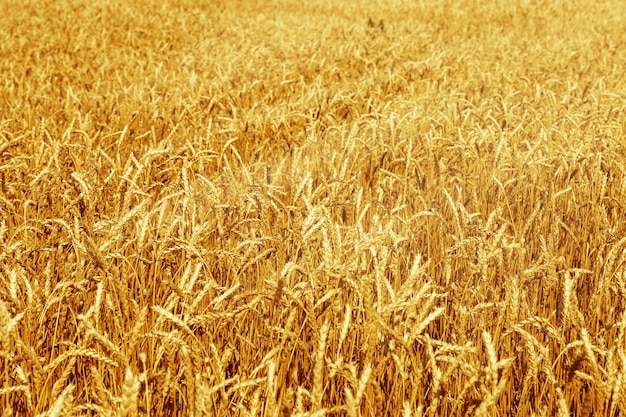 Rijpe tarwe op een landbouwgebied.