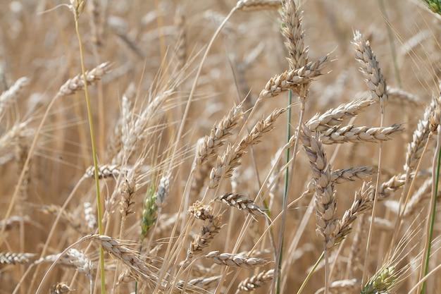 Rijpe tarweaartjes groeien in een veld in zonlicht