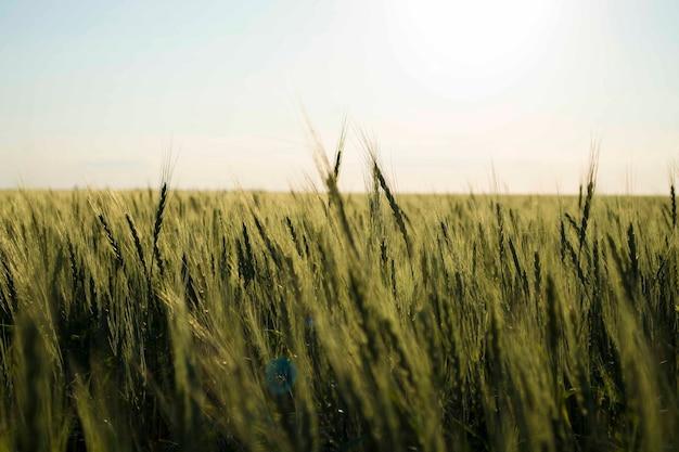 Rijpe tarweclose-up op bedrijf voor oogst en verkoop