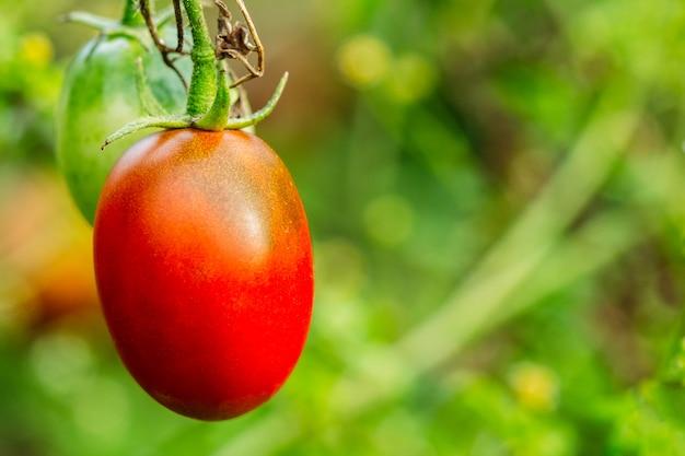 Rijpe tomaat op een tak op een groene achtergrond