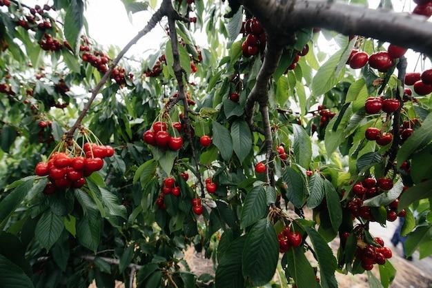 Rijpe trossen rode kersen op de takken van een boom