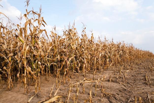 Rijpe vergeelde maïs in de herfst