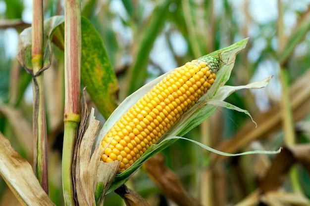 Rijpe vergeelde maïs