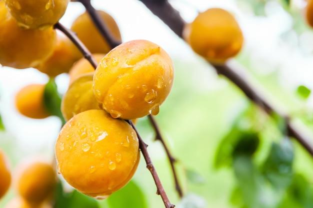 Rijpe verse biologische abrikozen met waterdruppels op een boomtak.