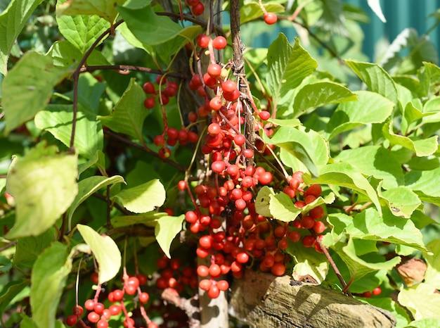 Rijpe viburnumbessen die op een tak groeien
