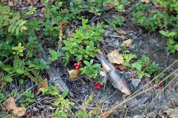 Rijpe vossebes in het herfstbos. zeer nuttige en heerlijke bes. helpt bij nierziekten.