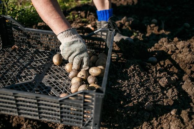 Rijpe vrouw die aardappels in haar tuin plant