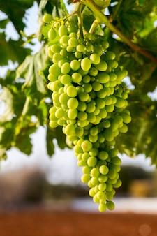 Rijpende groene druiven op een tak voor wijnbereiding