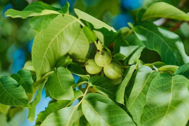 Rijpende groene walnoten op boom