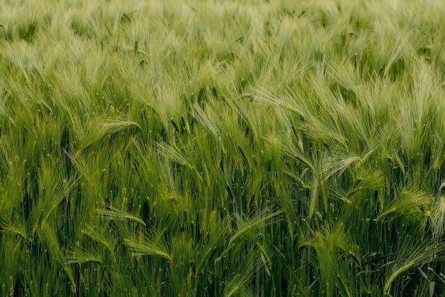 Rijpende oren van weide tarweveld. rijk oogstconcept. oren van groene tarwe close-up.