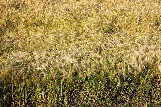 Rijpende rogge in een landbouwveld, rogge verandert van kleur van groen naar geel