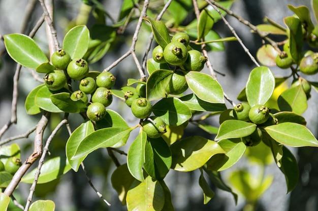 Rijpende vruchten citroenboom dicht omhoog. verse groene citroenkalk op boom in organische tuin