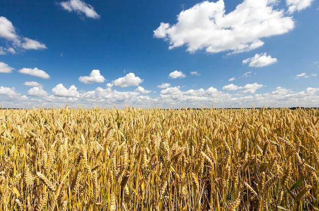 Rijping van tarwe en lucht met wolken als achtergrond