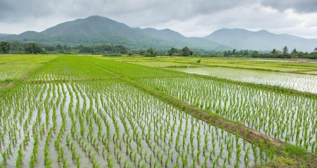 Rijst die gebied op regenende dag planten