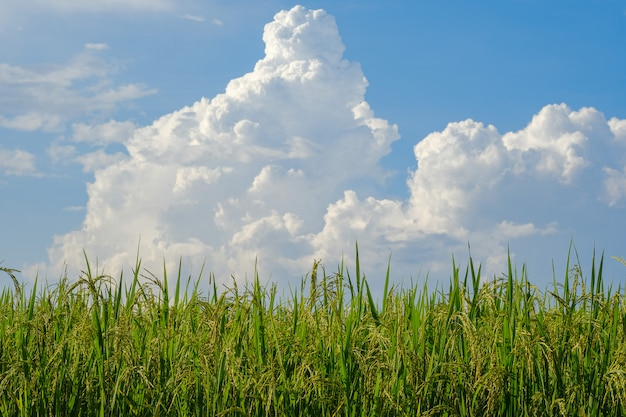 Rijst die in de bergen van noord-thailand wordt verbouwd, heeft een hemelachtergrond.
