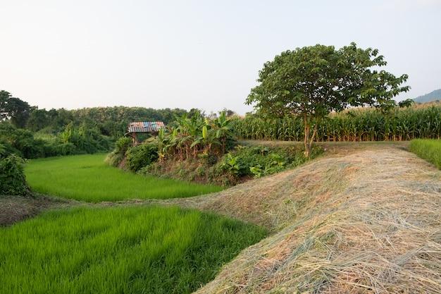 Rijst groeit in rijstvelden, is een gemengde landbouw