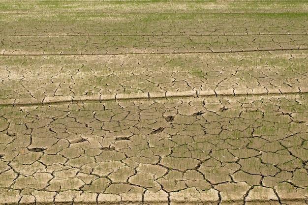 Rijst in het veld zonder water