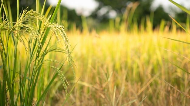 Rijst in veldconversietest in noord-thailand, rijst gele kleur en kopie ruimte