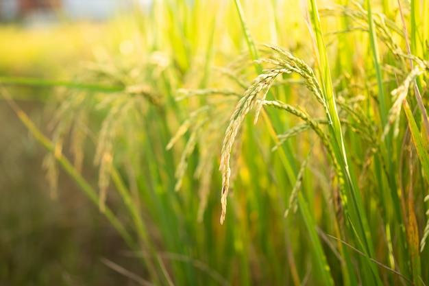 Rijst in veldconversietest in noord-thailand, rijst gele kleur