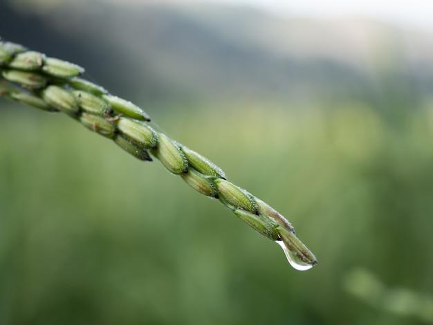 Rijst is een economisch gewas in azië