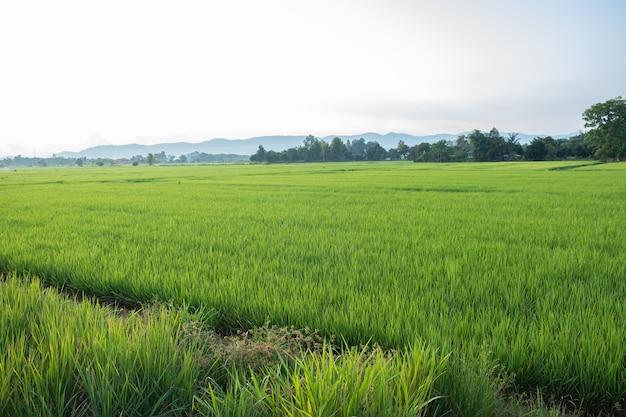 Rijst is groei in de rijstvelden. de zaailingen van rijst zijn lichtgroen. boerderij van rijst op het platteland.