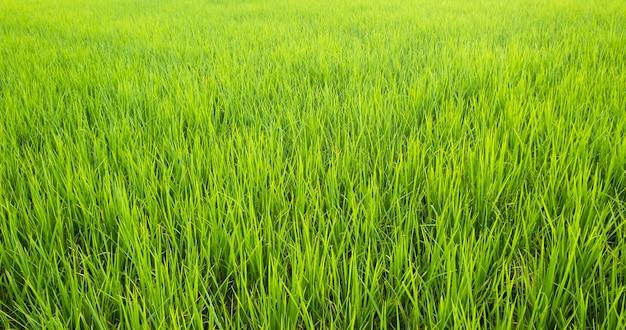 Rijst is groei in de rijstvelden. heldergroen gras. de zaailingen van rijst zijn lichtgroen. veld en zonsondergang
