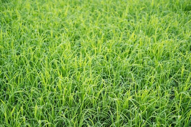 Rijst is groei in de rijstvelden. heldergroen gras. zaailingen van rijst zijn lichtgroen.