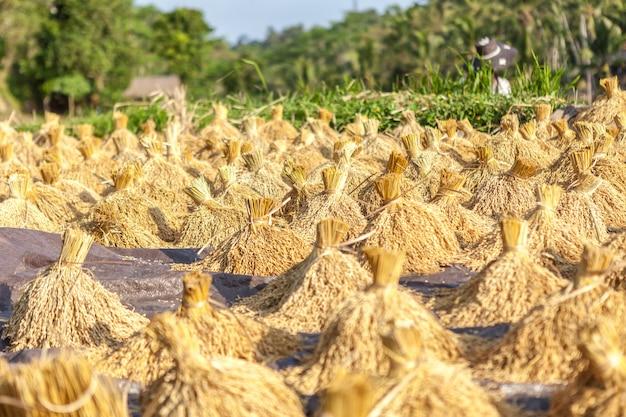 Rijst oogsten. bundels van gouden aartje.