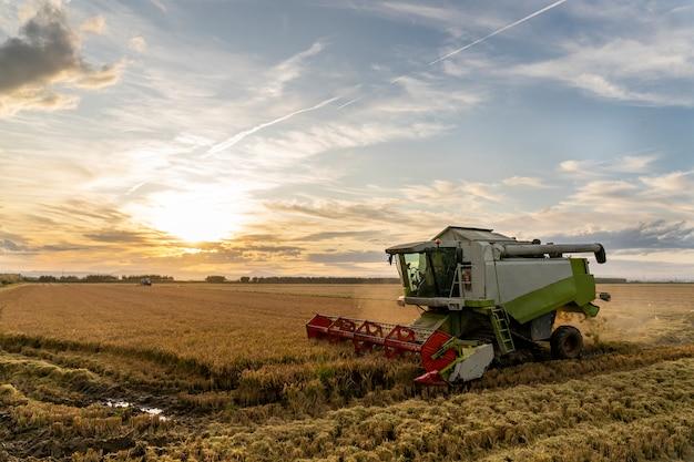 Rijst oogsten in de albufera van valencia bij zonsondergang