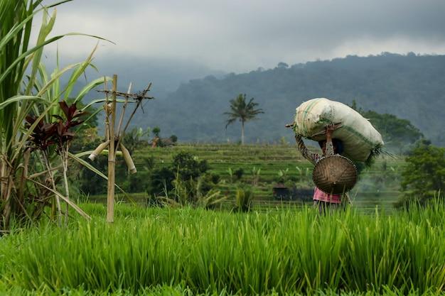 Rijst oogsten in rijstvelden