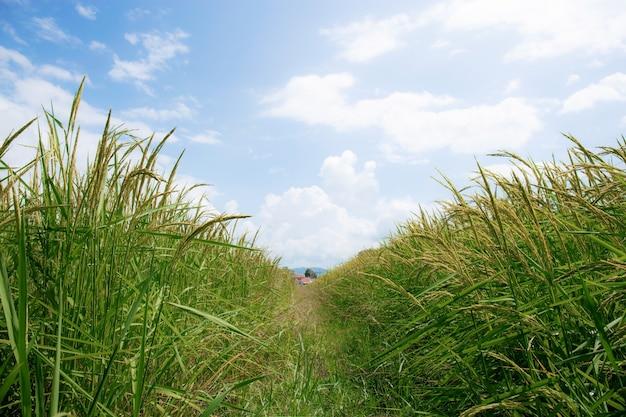 Rijst op velden op het platteland.