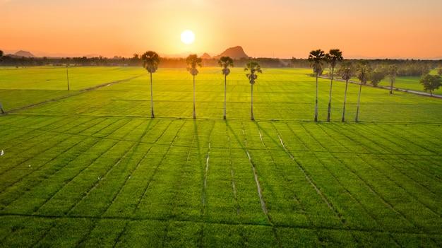 Rijst rijstveld
