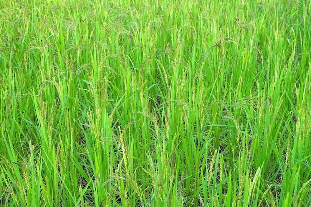 Rijst van gouden padie met groene bladeren in veld voor achtergrond. natuur voedsel