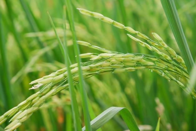 Rijst veld achtergrond