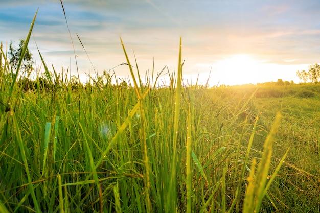 Rijst veld onder de blauwe hemel met wolken in platteland thailand.foto veld en landschap con