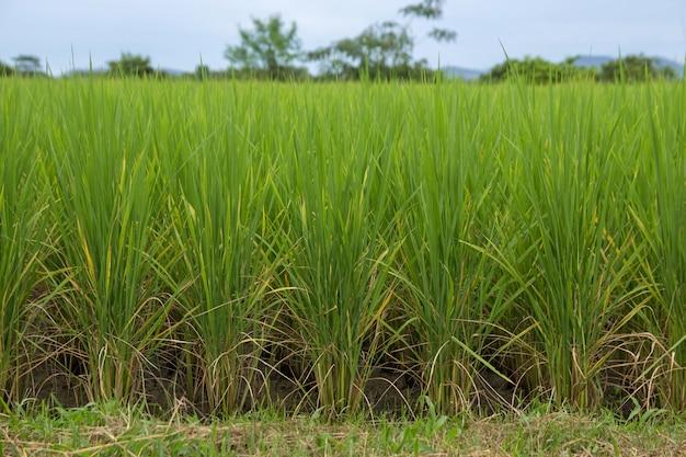Rijst zaailingen groeien in het veld