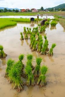 Rijst zaailingen in rijst veld. baby paddy. maak je klaar voor landbouw. zaailingen transplanteren.