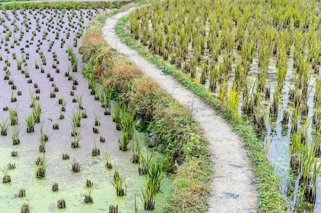 Rijstaanplanting