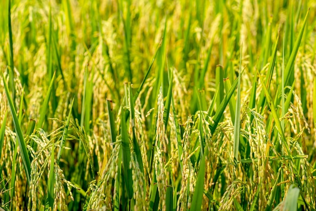 Rijstboerderij - rijstveld - rijstveld,