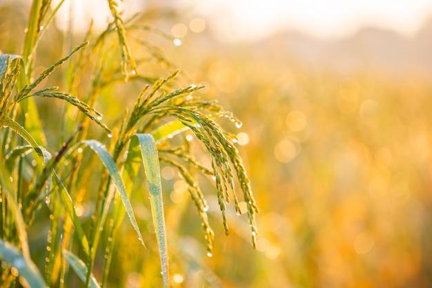 Rijstkorrels in rijstvelden