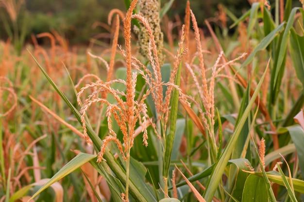 Rijstplant in het veld in de zonsondergang